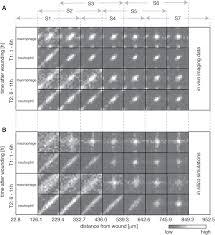 inference of random walk models to describe leukocyte migration