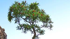 a humble tree to middle east holds anti colon cancer