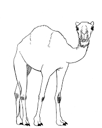 how to draw a camel learn to draw pinterest camels drawings