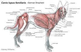 Dog Anatomy Front Leg Dog Leg Muscle Anatomy Oasis Amor Fashion