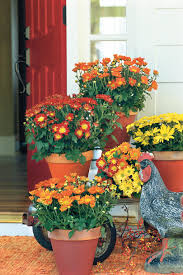 Picture Of Mums The Flowers - beginner u0027s guide to chrysanthemums southern living
