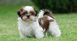 shih tzu with curly hair shih tzu dog breed information pictures and fun facts petcoach