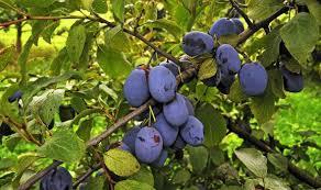 gardening tips how to prune a plum tree in summer garden