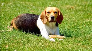 10 small dog breeds that aren u0027t afraid to hunt