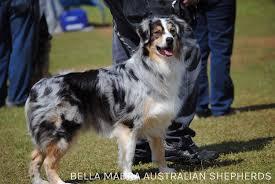 australian shepherd 2015 nationals cooper u2013 bella madra aussies