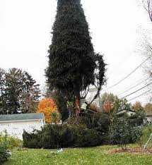 grayslake spruce chosen as chicago s tree