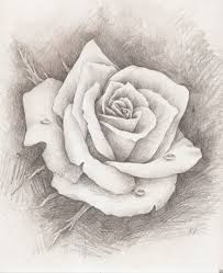 pencil sketch of a rose beautiful hand drawn wild rose pencil