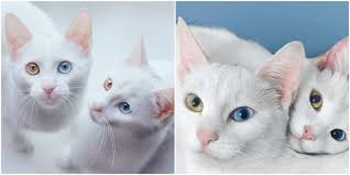 Twlin Sis The Sis Twins Are The Prettiest Cats On Instagram White Cats