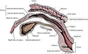 Internal Dog Anatomy Vestibule And Veterian Key