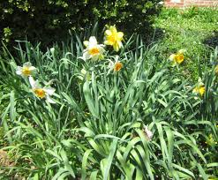 jarvis house spring flowering bulbs in the jarvis house garden 2014