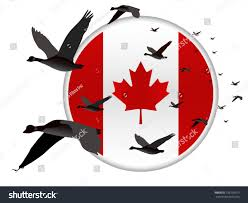geese flying past canadian flag stock vector 126739313 shutterstock