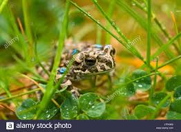 small tiny little short frog toad rain meadow grass lawn green