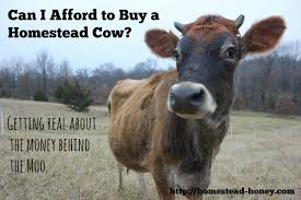 Backyard Dairy Cow Can I Afford To Buy A Family Milk Cow Homestead Honey