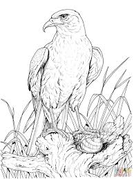 golden eagle coloring pages free coloring pages
