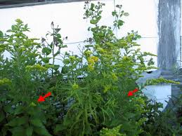 5 native plants goldenrod this native plant should be kept out of the garden
