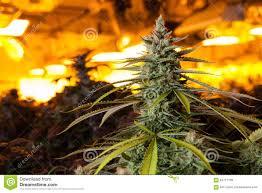 Grow Room Lights Marijuana In A Grow Room Under Lights Stock Photo Image 64717198