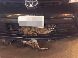 bobcat gets stuck in car grill on thanksgiving