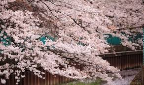 Flowering Cherry Shrub - how to plant a winter flowering cherry tree to brighten up your