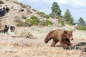 Nevada wild animals images Nevada drought expected to push bears into town jpg