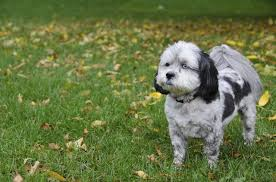 shi poo grooming ideas for a shih poo cuteness