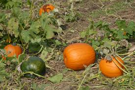 goose gourds your own pumpkin country barn