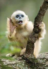 Baby Monkey Meme - pretty cute baby golden snub nosed monkey wallpaper site