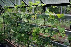 greenhouse gardening in the pacific northwest grow strawberries
