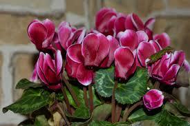 indoor flowering plants cyclamen plant archives indoor flowers garden flowers