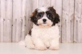 shi poo view ad shih poo puppy for sale ohio mount vernon usa