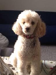 haircutsfordogs poodlemix looks like my remy poodle poodle mixes pinterest poodle