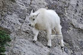 a baby mountain goat oreamnos americanus walking on a narrow ledge