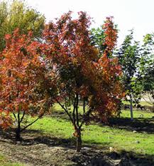 pistache shade trees willis orchards