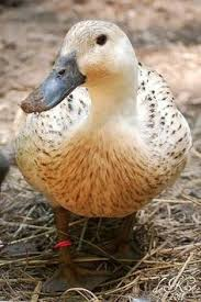 blue swedish multi purpose and ornamental duck lays 120 180