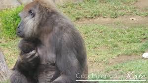 new gorilla habitat at san diego zoo safari park