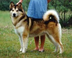 belgian shepherd x malamute i found rocky malamute shiba inu mix google search w o w