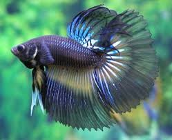 87 best ornamental fishes images on fish aquariums