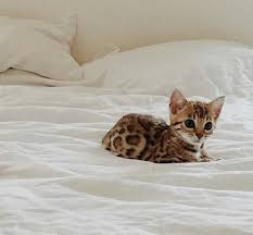 Kitten Bed Cat In The See Of The Bed Cats Pinterest Cat Bengal And Animal