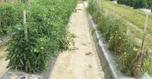 Diseases Of Tomato Plants - grafted tomato plants solve disease problems profitability
