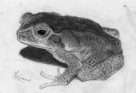 toad animal drawing
