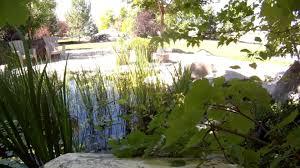 backyard pond koi honey bees aquatic plants waterfalls youtube