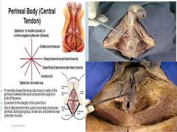 Perineum Anatomy Female Contents Of Male And Female Perineal Pouches Copy