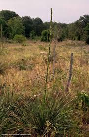 native louisiana plants texas native plants database