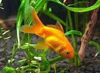 pesci alimentazione alimentazione dei pesci come nutrire correttamente i pesci d acquario