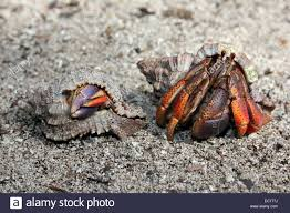 purple crab stock photos u0026 purple crab stock images alamy