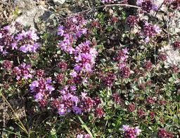 thym serpolet cuisine vichyrando org allier auvegne plantes et fleurs des chemins en