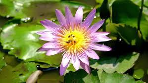 Lotus Flower Bloom - water drop roll on leaves lotus and purple lotus flower beautiful