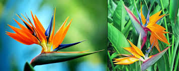 bird of paradise flower bird of paradise tattoos what do they bird of paradise