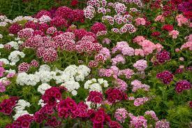 dianthus flower the perennial dianthus flower