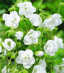 White Flowers Pictures - best 25 white flowers ideas only on pinterest wedding flower