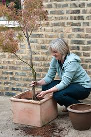 trees growing in containers rhs gardening